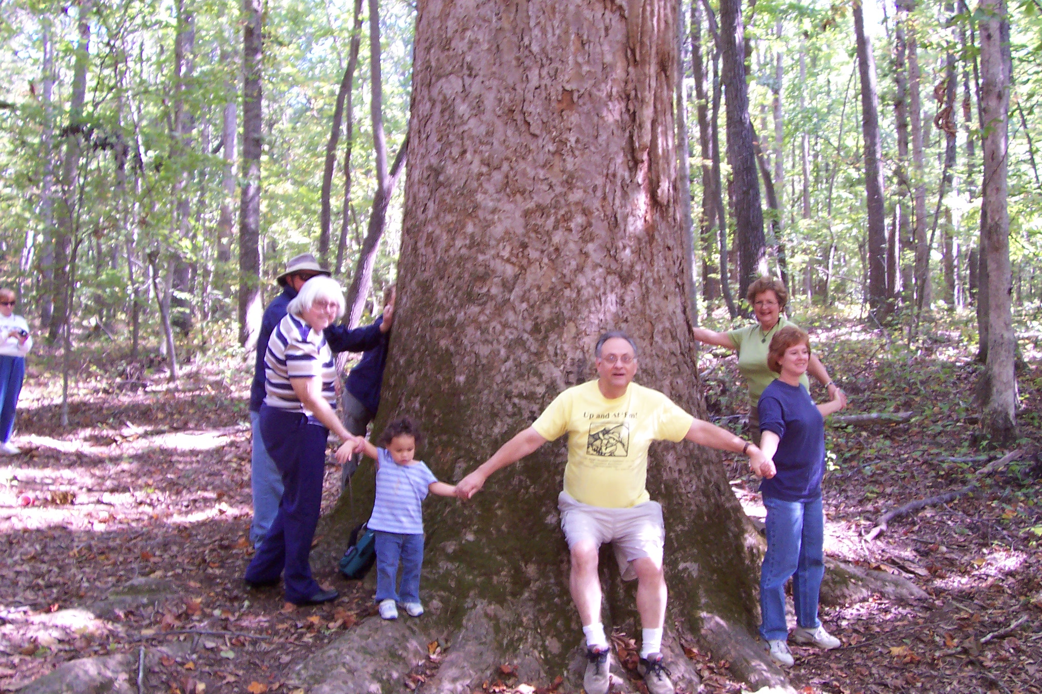 The Big Poplar at Shallowford Battleground